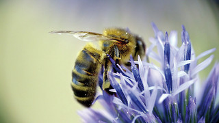 Pollinators in decline