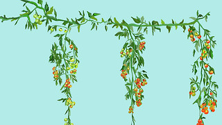 What do tomato plants have to do with the climate crisis?